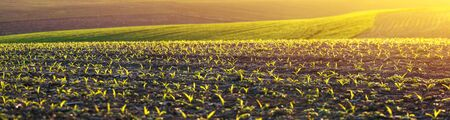 corn seedlings on a large, agricultural field