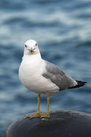 nature photography: Seagull. Portrait of a seagull.