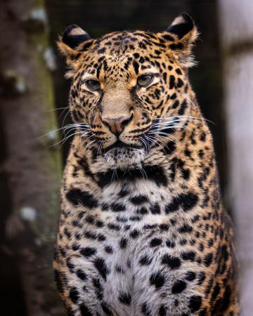 Leopard. Portrait image of Leopard (Panthera pardus), sitting.