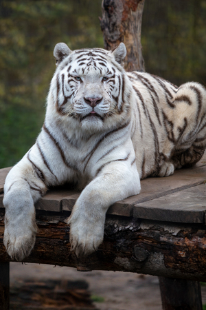 White tiger. Close up image of White tiger (Panthera tigris tigris), lying and resting on the wooden deck.