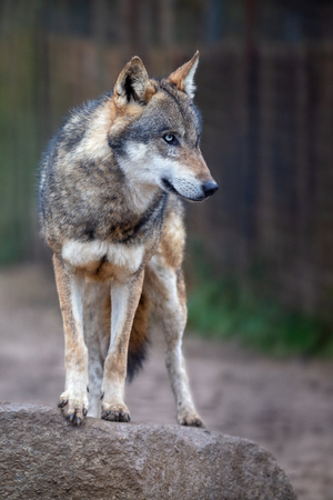 Wolf. Portrait image of the wolf (Canis lupus) standing on the rock, looking in to the woods.