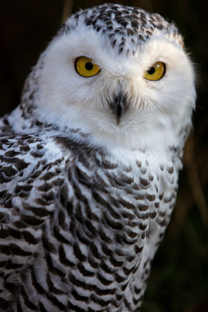 Snowy Owl. Close up portrait image of Snowy owl on the dark background. Stock Photo
