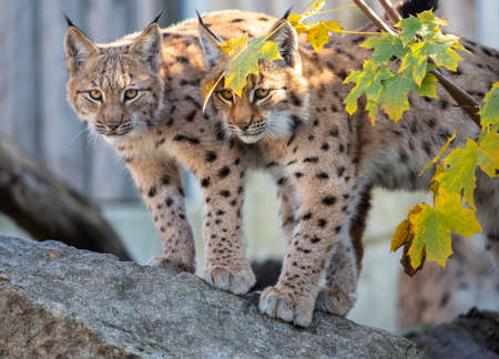 Eurasian lynx. Portrait of the couple of young Eurasian lynx cubs standing on the rock during autumn evening.