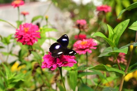 Butterflies that settle on red flowers
