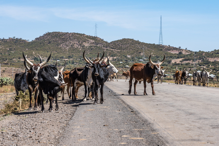 Brahman or Zebu bulls on the road to Gheralta in Tigray, Northern Ethiopia