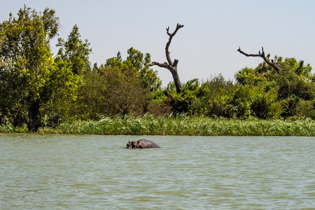 Hippo looking out of the water in lake Tana, Ethiopia Imagens