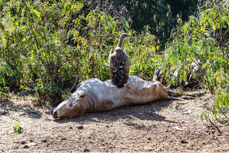 Griffon Vulture Gyps fulvus eating a dead cow in Ethiopia Stockfoto
