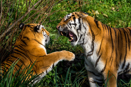The Siberian tiger,Panthera tigris altaica in the zoo Banque d'images