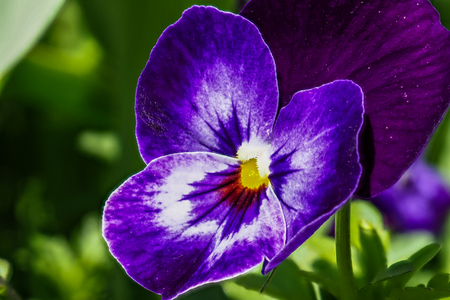 close up of purple pansy flower growing in the spring garden 写真素材