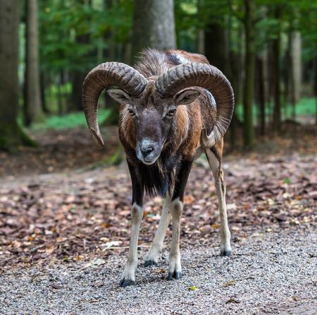The European mouflon, Ovis orientalis musimon is the westernmost and smallest sub-species of mouflon.