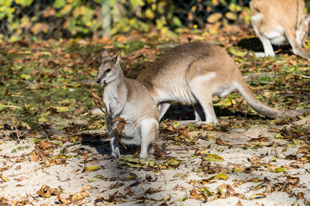 The agile wallaby, Macropus agilis also known as the sandy wallaby is a species of wallaby found in northern Australia and New Guinea. Stock Photo