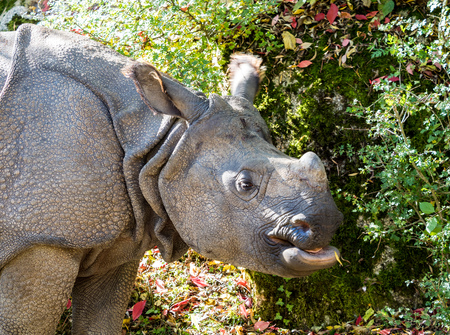 The Indian Rhinoceros, Rhinoceros unicornis is also called Greater One-horned Rhinoceros and Asian One-horned Rhinoceros and belongs to the Rhinocerotidae family.