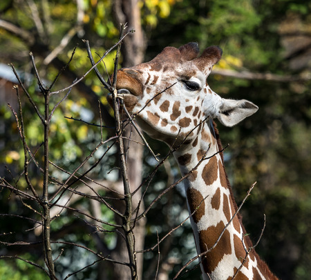 The giraffe, Giraffa camelopardalis is an African even-toed ungulate mammal, the tallest of all extant land-living animal species, and the largest ruminant.