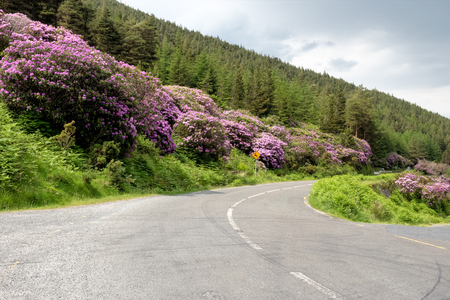 Rhododendron growing in the Vee valley on the Tipperary Waterford border in Ireland.
