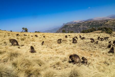 Gelada Baboon - Theropithecus Gelada. Simien Mountains in Ethiopia 版權商用圖片