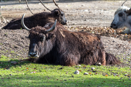The domestic Yak, Bos mutus grunniens in the zoo Reklamní fotografie