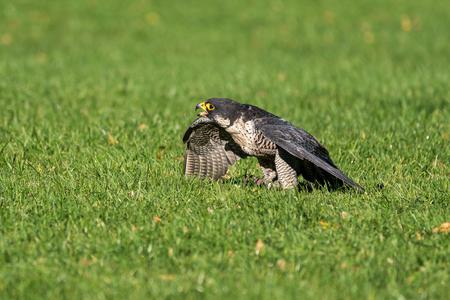 The peregrine falcon, Falco peregrinus. The fastest animals in the world. Reklamní fotografie