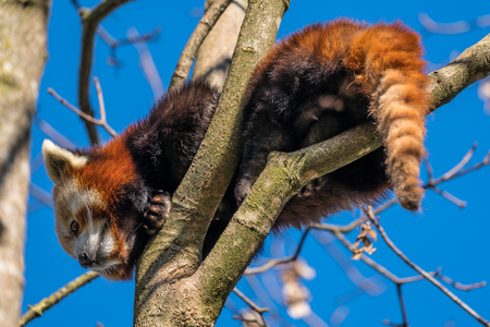 The red panda, Ailurus fulgens, also called the lesser panda. Imagens