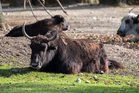 The domestic Yak, Bos mutus grunniens in the zoo 免版税图像