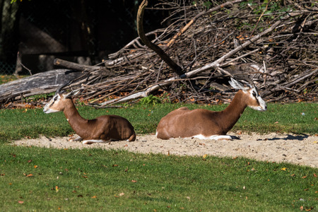 Dama gazelle, Gazella dama mhorr or mhorr gazelle is a species of gazelle Stock Photo