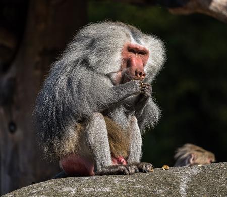 Der Hamadryas-Pavian, Papio hamadryas, ist eine Pavianart, die am Horn von Afrika und an der südwestlichen Spitze der Arabischen Halbinsel beheimatet ist. Standard-Bild