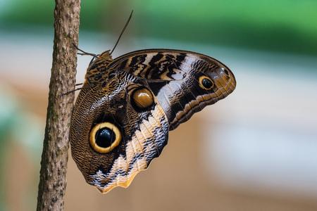 Owl butterfly ,caligo eurilochus.beautiful brown tropical butterfly in a botanic garden Reklamní fotografie - 121046240