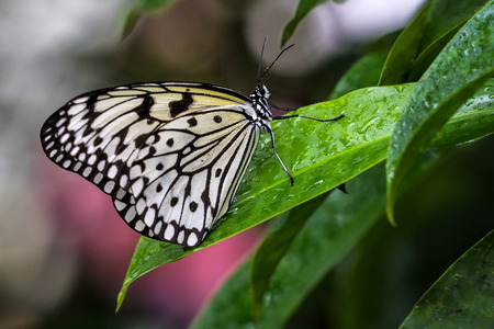 Idea leuconoe, the paper kite, rice paper or large tree nymph is known especially for its presence in butterfly houses and live butterfly expositions. It has a wingspan of 12 to 14 cm.
