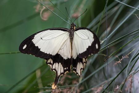 African White Swallowtail butterfly, Papilio dardanus, aka Flying Handkerchief, Mocker Swallowtail. Reklamní fotografie - 121047057