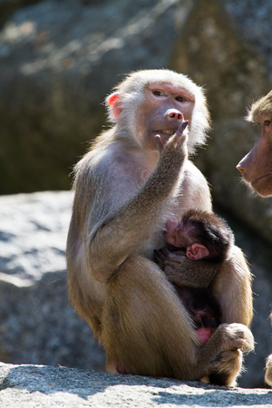 The hamadryas baboon, Papio hamadryas is a species of baboon, being native to the Horn of Africa and the southwestern tip of the Arabian Peninsula. Standard-Bild
