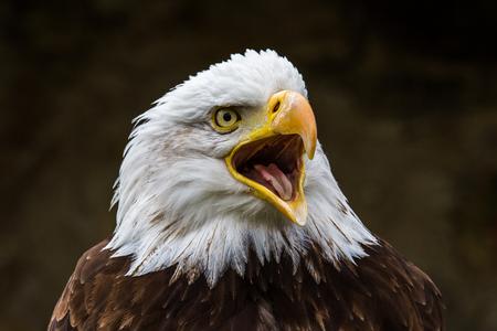 Bielik łac. Haliaeetus leucocephalus to ptak drapieżny występujący w Ameryce Północnej. Zdjęcie Seryjne