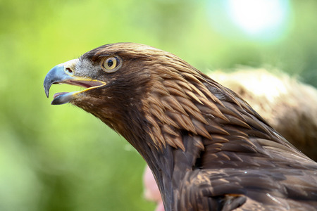 The Tawny Eagle, Aquila rapax is a large bird of prey. Like all eagles, it belongs to the family Accipitridae. Reklamní fotografie