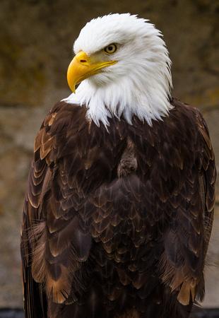 L'aigle à tête blanche lat. haliaeetus leucocephalus est un oiseau de proie que l'on trouve en Amérique du Nord.