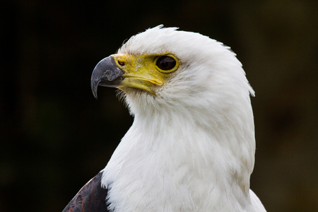 The African Fish Eagle, Haliaeetus vocifer or the African sea eagle, is a large species of eagle found throughout sub-Saharan Africa