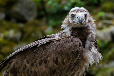 The Cinereous vulture, Aegypius monachus is a large raptorial bird that is distributed through much of Eurasia. It is also known as the black vulture, monk vulture, or Eurasian black vulture.