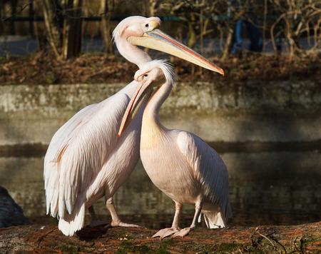 Der Große Weiße Pelikan, Pelecanus onocrotalus, auch bekannt als der rosige Pelikan, ist ein Vogel aus der Familie der Pelikane.