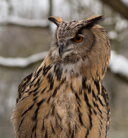 The long-eared owl, Asio otus, also known as the northern long-eared owl, is a species of owl which breeds in Europe, Asia, and North America. Stock fotó
