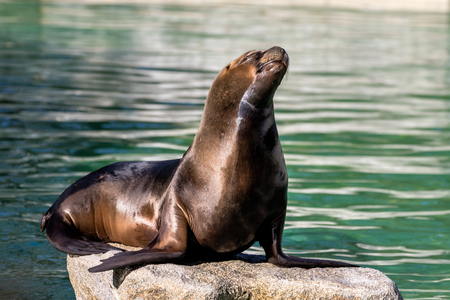 The South American sea lion, Otaria flavescens, formerly Otaria byronia, also called the Southern Sea Lion and the Patagonian sea lion Banco de Imagens