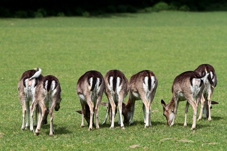 The fallow deer, Dama dama is a ruminant mammal belonging to the family Cervidae.