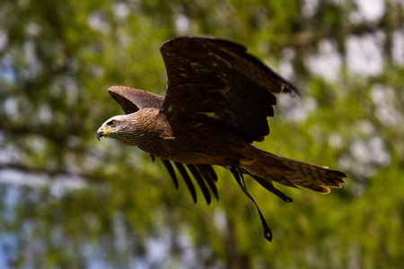 The Tawny Eagle, Aquila rapax is a large bird of prey. Like all eagles, it belongs to the family Accipitridae. Imagens