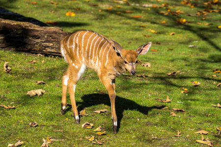 The nyala, Tragelaphus angasii is a spiral-horned antelope native to Southern Africa. It is a species of the family Bovidae and genus Nyala, also considered to be in the genus Tragelaphus. 版權商用圖片 - 122709053