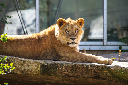 The lion, Panthera leo is one of the four big cats in the genus Panthera and a member of the family Felidae. Stock Photo