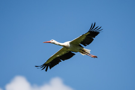The European white stork, Ciconia ciconia is a large bird in the stork family Ciconiidae. Its plumage is mainly white, with black on its wings. Фото со стока