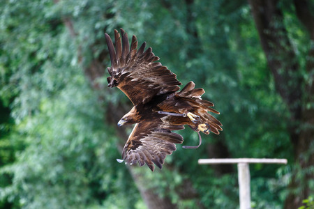 The golden eagle, Aquila chrysaetos is one of the best-known birds of prey in the Northern Hemisphere. Stok Fotoğraf