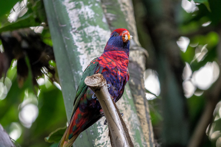 The scarlet macaw, Ara macao is a large red, yellow, and blue Central and South American parrot Stok Fotoğraf