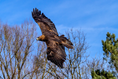 The golden eagle, Aquila chrysaetos is one of the best-known birds of prey in the Northern Hemisphere. Imagens