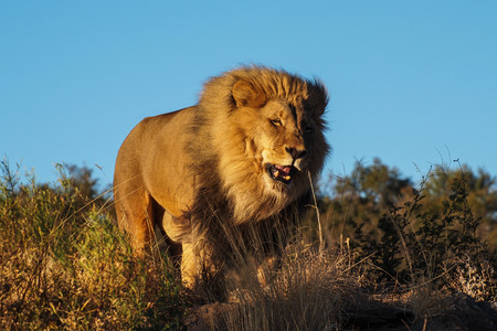 Lion, Panthera leo at a game drive in Namibia, Africa Stock Photo