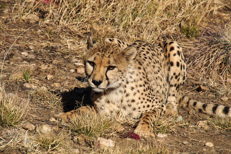 Cheetah, Acinonyx jubatus at a game drive in Namibia, Africa