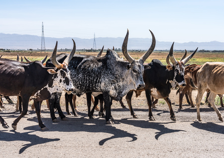 Brahman or Zebu bulls on the road to Gheralta in Tigray, Ethiopia