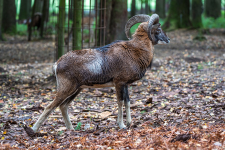 European mouflon, Ovis orientalis musimon. Wildlife animal.