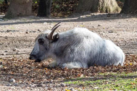 The domestic Yak, Bos mutus grunniens in the zoo Фото со стока